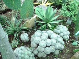 cactusblancos