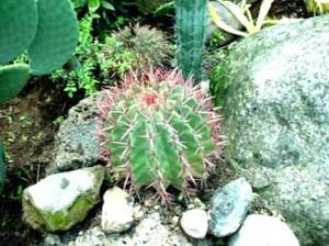 cactusrojo